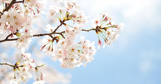 淡い桜と青空