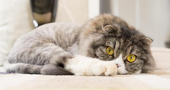 ライオンカットのオス猫