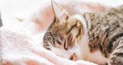 ふわふわタオルで眠る猫